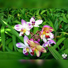 Spathoglotti 'Dahlenburg'  #orchid #orquídeas