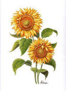 LAMINAS... Y TRABAJOS CON FLORES Botanical Illustration, Botanical Prints, Illustration Art, Sunflower Art, Sunflower Tattoos, Decoupage, Sunflowers And Roses, Frida Art, Vintage Postcards