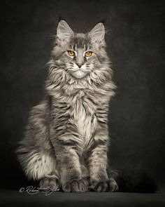 The Maine Coon is one of the most popular giant cat breeds. Robert Sijka creates incredible photo collections of Maine Coon Cats as well as other breeds. Gato Maine, Chat Maine Coon, Maine Coon Kittens, Pretty Cats, Beautiful Cats, Cute Kittens, Cats And Kittens, Cats Meowing, Image Chat