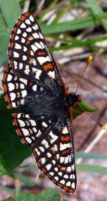 Chalcedon Checker-spot - Chrysalis and Adult