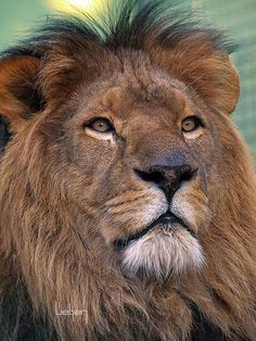 One day the lion will lie down with the lamb and you will see it if you are born again, as evidenced by having a new heart, growing in holiness, loving God's word. Read the KJV, God's true original preserved word.