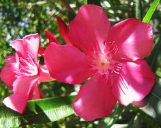 Pink Oleanders (Poisonous)