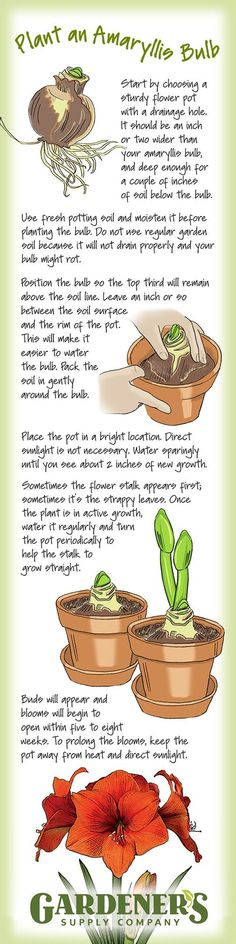 Plant an amaryllis bulb. It's easy and rewarding! Here's how. See the full article at gardeners.com