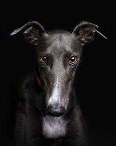 Meet Grace the Greyhound Cute Funny Animals, Cute Dogs, Beautiful Dogs, Animals Beautiful, Portrait Studio, Dog Day Afternoon, Greyhound Art, Whippet Dog, Grey Hound Dog