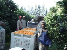 SOGA---Sundays-Organic-Growers-Association-citrus-farmers Citrus Juice, Organic Recipes, Farmers, A Team, Sunday, Canning, Food, Domingo, Essen