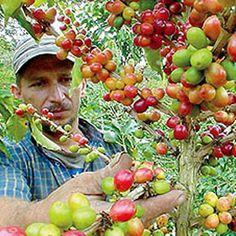 COLOMBIA ||| Colombia batió récord en subasta mundial de café