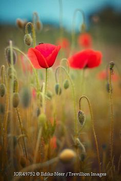 Trevillion Images - poppies-in-meadow