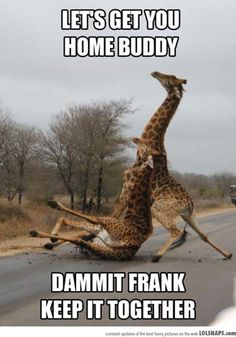 This picture is not funny. Those giraffes are  injuring themselves. The asphalt is too slick for their hooves.