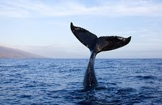 humpback whale tail high out of water in maui hawaii (by *michael sweet*)