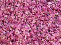 Morocco Rose Festival