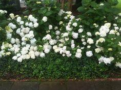 blushing bride hydrangea not blooming - Bing images Endless Summer Hydrangea, Hydrangea Not Blooming, Blue Hydrangea, Hydrangeas, Blushing Bride Hydrangea, Hydrangea Macrophylla, Garden Gates, Shrubs, Bradford