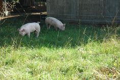 This is a GREAT blog about raising pigs! They kept excellent records on them so you can see an approx. cost for raising them, too!