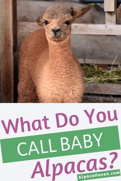 Check out this information on baby alpaca cute! You'll love having a baby alpaca if you decide to st… Cute Alpaca, Llama Alpaca, Baby Alpaca, Alpaca Drawing, Barn Layout, Human Babies, Pig Farming, Funny Photography, Hobby Farms