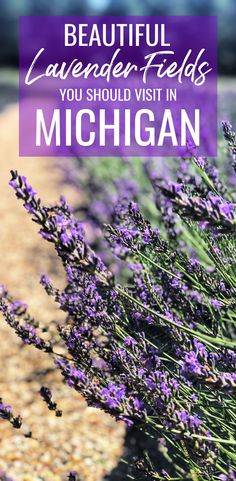 Visit one of these Michigan lavender farms to see beautiful lavender fields, peaceful lavender labyrinths, and fragrant gardens full of purple lavender! This post shares tips for the best time to visit lavender farms in Michigan as well as what to bring and wear for this outdoor summer activity of picking lavender from Michigan's U-pick lavender fields. #Michigan #USA #lavenderfields #lavenderfarms #MichiganTravel #MidwestTravel #lavenderfield #lavenderfarm #lavenderlabyrinth #upicklavender Alaska Travel, Canada Travel, Travel Usa, Us Travel Destinations, Michigan Travel, Michigan Usa, Travel Guides, Travel Tips, Lavender Fields