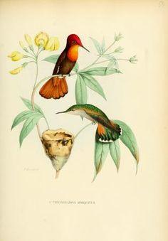 v. 4 (1877) - Histoire naturelle des oiseaux-mouches, ou, Colibris constituant la famille des trochilidés / - Biodiversity Heritage Library