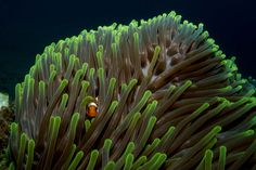"""Clownfish got famous through the movie """"Finding Nemo"""" and every scuba diver loves them. Learn more about these cute, but weird creatures - clownfish facts Clownfish, Weird Creatures, More Fun, Facts, Cute, Kawaii"""