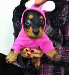 Daschund Daschie Puppy Adorable Cute Bunny Rabbit Pink Sweet Funny