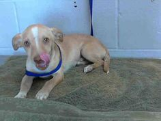 GONE --- #A475613 RESCUE ONLY. Release 11/15 I am a male, tan and white Chihuahua - Smooth Coated. Shelter staff think I am about 9 weeks old. I have been at the shelter since Nov 10, 2014.   For more information about this animal, call: San Bernardino City Animal Control at (909) 384-1304 https://www.facebook.com/photo.php?fbid=10203925494595316&set=a.10203202186593068&type=3&theater