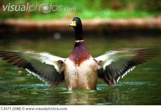 duck bird   focus your search bird birds central kentucky drying wings duck ducks ...
