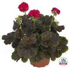 Geranium Brocade Cherry Night AAS Winner
