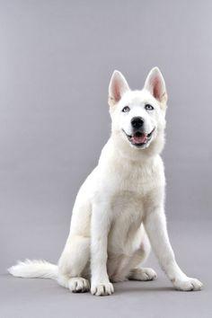 Dog - Siberian Husky - Holly on www.yummypets.com