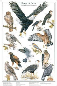 aves de rapina I (EUA)