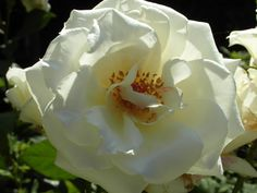 Big white rose