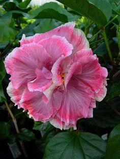 Hibiscus 'Caprice'