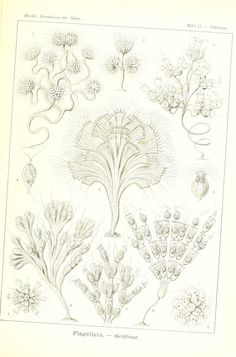 Kunstformen der Natur Leipzig und Wien :Verlag des Bibliographischen Instituts,1904. biodiversitylibrary.org/page/33543266