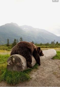 Ate a human, I'm stuffed, being a big brown bear is hard work. Beautiful Creatures, Cute Creatures, Animals Beautiful, Spirit Animal, Animal Photography, Brown Bear, Animal Kingdom, Animals And Pets, Fur Babies