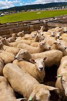Sheep Huddled together in  Clevedon Village, North Island, New Zealand.