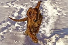 Chasing - 5 months old puppie of Irish Setter, Allegro enjoying the sun&snow