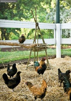 Chicken playground - how great is that white fence with chicken mesh in the background? Had to look twice to figure out how they were keeping the chickens in!