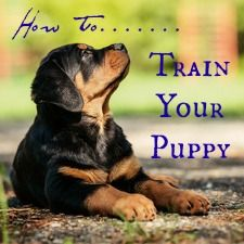 A comprehensive owners guide to Rottweiler behavior. Loads of helpful tips and information on the pros and cons of the rottweiler temperament. Find out who the REAL Rottweiler is!