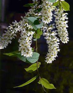 Heimo Rosaceae, ruusukasvit Prunus padus, TUOMI Tuntomerkkejä matala puu tai pensas lehdet soikeat, suippokärkiset, sahalaitaiset, kaljut kukinto runsaskukkainen, riippuva terttu kukat valkoiset, voimakastuoksuiset marjat mustia Kukan väri haun yhteydessä valkoinen Kasvupaikkoja lehdoissa, metsänreunoissa, rannoilla Erityistä Pirkanmaan maakuntakukka