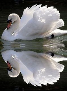 Swan double take by *LINNY *, via Flickr.com