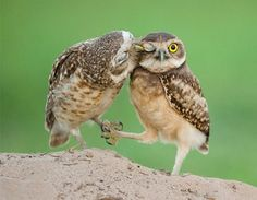 Owl Kisses | Community Post: The 25 Cutest Animal Kisses