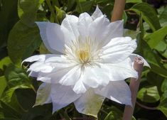 Clematis 'Duchess of Edinburgh' deciduous climber, double, pure white flowers, in. across composed of several layers of narrow white tepals which tend to recurve at their tips.Blooms twice - late spring and again late summer tall White Clematis, Clematis Plants, Clematis Flower, Clematis Vine, Climber Plants, Mailbox Garden, Clematis Montana, Chicago Botanic Garden, Hummingbird Garden