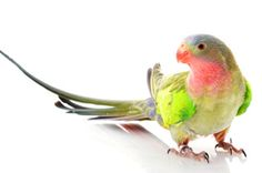 While many parrot species have rich, brightly colored feathers, the Princess of Wales parakeet is more a soft pastel, with plumage that is mostly green with a pink throat, bluish crown and rump, and brighter green shoulders.
