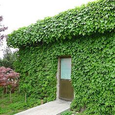 Privacy screens ivy and bamboo on pinterest for Fast growing climbing plants for screening