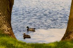 Spring strolling Photo: Esperanza Sanchez Espitia  #spring   #earthday   #earth   #duck   #water   #trees   #treesphotography   #nature   #naturephotography   #naturelovers   #documentary   #montreal