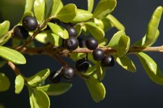 Hetz's Japanese holly shrubs have small leaves that look like those of boxwoods. Learn how to tell the two bushes apart and how to grow Ilex crenata 'Hetzii.'