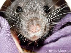 Photo about A close-up view of a inquisitive baby Dumbo rat peeking out of its bed. Image of pets, teddy, bedding - 148518566 Baby Dumbo, Dumbo Rat, Guinea Pigs, Rats, Cute Animals, Horses, Stock Photos, Bed, Image