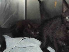 Rogers, AR: CAROLINE Pet ID: A020718 NEEDS ADOPT RESCUE FOSTER SPONSORS SHARES! Domestic Short Hair • Baby • Female • Small City of Rogers-Animal Services, Rogers, AR 72758  Phone: 479-621-1197  http://www.petfinder.com/petdetail/28960459/