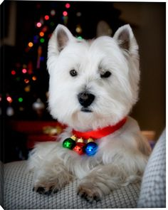 Westie Christmas by Paul L. Harwood