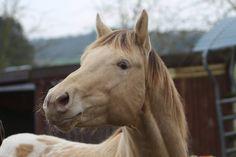 Krü, amber champagne Appaloosa Stallion