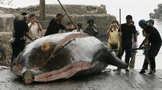 Japan kills 30 minke whales in 'research' campaign following international court ban on whaling (Reuters/Toru Hanai)