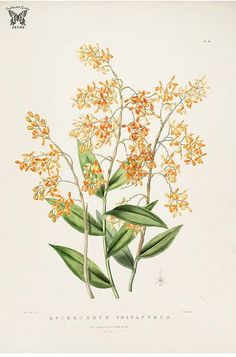 Many-flowered Epidendrum. Epidendrum polyanthum. The Orchidaceae of Mexico and Guatemala (1837-1843) [Sarah Ann Drake] Vintage Flower Prints, Vintage Flowers, Plant Illustration, Botanical Illustration, Botanical Flowers, Botanical Prints, Orchid Drawing, Flower Catalogs, La Malmaison