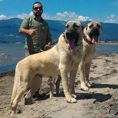 All Dogs, I Love Dogs, Best Dogs, Dogs And Puppies, Kangal Dog, Real Dog, Awesome Dogs, Pit Bull, Dog Stuff