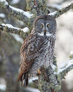 """From Gerry Sibell: """"The Phantom of the North. This is an image of a great gray owl taken in the Sax-Zim Bog of northern Minnesota. Great Grey Owl, Snowy Owl, Birds Of Prey, Amazing Nature, Beautiful Birds, Beautiful Creatures, Pet Portraits, Animal Kingdom, Cool Pictures"""